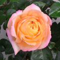 西川様 『アンネのバラ』 大阪府