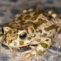 Die Wechselkröte (Bufo viridis) gehört zu den FFH-Anhangsarten, deren Bestände regelmäßig beobachtet werden müssen (Bild: K. Weddeling)