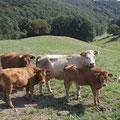Extensive Rinderbeweidung auf Vertragsflächen