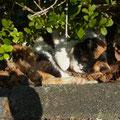 Kochi Uni's pet cat at Medical campus, 大学にいつも居るねこです (Mar. 2013)
