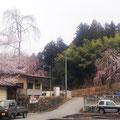 事務所横のしだれ桜