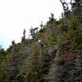 Burgeo, Sandbanks PP, Weißkopfseeadler