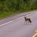 Koyote bei Ravelstoke