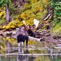 Elchbulle im Moose Lake, Jasper NP