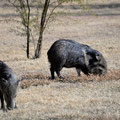 Big Bend NP, Cottonwood, Javelinas