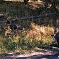 Big Horn Schafe