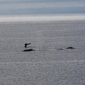 Buckelwale bei Raleigh