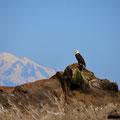 Bold Eagle mit Mount Baker