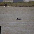 Delfin in einem Flussdelta