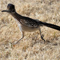 Big Bend NP, Cottonwood, Roadrunner