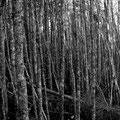 Birkenwald bei Louisbourg
