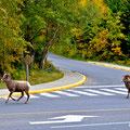 Bighorn Schafe in Waterton