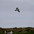 Elliston, Papageientaucher (Puffin)
