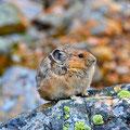 Pika am Cavell Meadows Trail, Jasper NP
