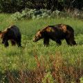 Zwei Grizzlies beim Frühstück