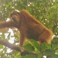 Ketambe Jungle Trek, wild Orang Utan