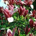 Purpurmagnolie (Magnolia lilliflora 'Nigra')