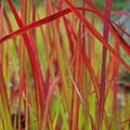 Blut-Gras (Imperata)