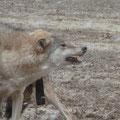 komm mir ja nicht zu nahe!! Wolf