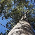 75m hoher Karribaum im Boranup Forest bei Pemperton