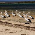 Pelikan-Familie