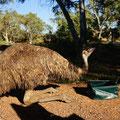 Emu trinkt von unserem Abwaschbecken - sehr durstig