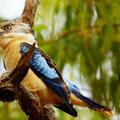 Blue Wing Kookaburra