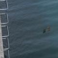 何故か防波堤の下に海へ向かうカモたち