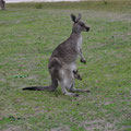 Zweiköpfiges Östliches Graues Riesenkänguru - Australien