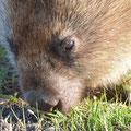 Nacktnasenwombat - Tasmanien, Australien