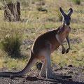 Rotes Riesenkänguru - Queensland, Australien