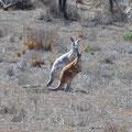 Albinotisches Rotes Riesenkänguru - South Australia, Australien