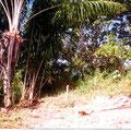 Piaçava Palmen in der Mitte des Grundstücks