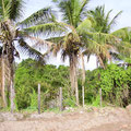 mehr Kokospalmen