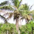 Kokospalmen am Strassenrand