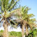 Palmen voller Kokosnüsse