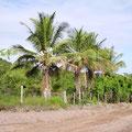 die Kokospalmen auf dem Grundstück