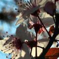 Cherry Blossom V