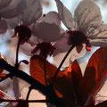 Cherry Blossom IX