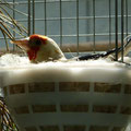 Weißkopf Henne