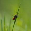 Cantaridae