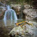 Salamandra pezzata (Salamandra salamandra)