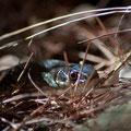 Biacco (Coluber viridiflavus)