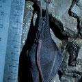 Ferro di cavallo minore (Rhinolophus hipposideros)