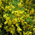 Meist blüht der Ginster, das Eifelgold