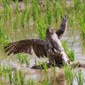 オオタカの狩