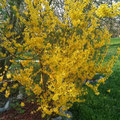 Gelber Blumenzauber im Rhyner Garten