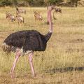 Masai Mara - Masai Strauss -  Struthio camelus massaicus
