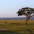 Masai Mara - Zebras