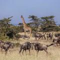 Gnus + Giraffe